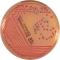 V. cholerae V.parahaemolyticus
