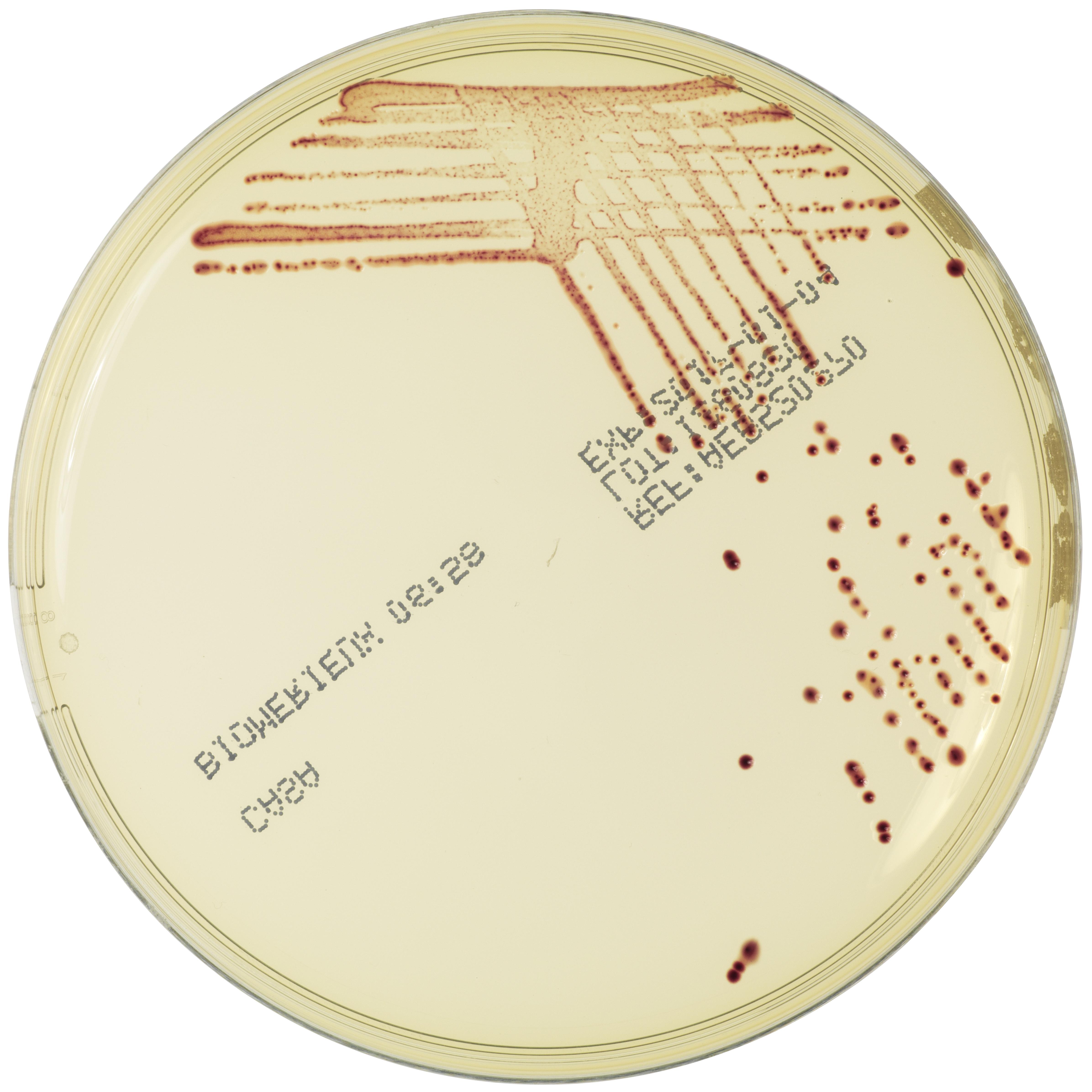 C. coli